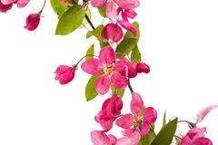 Pink flowers of apple. On a white background Stock Photography