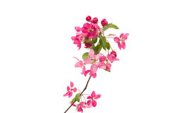 Pink flowers of apple. On a white background Stock Photo
