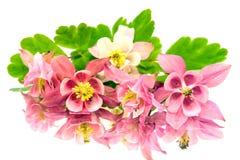 Pink flowers of aquilegia Stock Photos