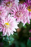 Pink flowers of aster Stock Photos