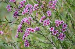 Pink flowers of the Australian native Geraldton Wax. Chamelaucium uncinatum; family Myrtaceae; endemic to Western Australia. Winter flowering royalty free stock image