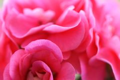 Pink flowers background Royalty Free Stock Images