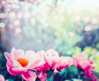 Pink flowers background. Amazing view of pink peonies flowering in garden or park, outdoor nature. Close up Stock Photography