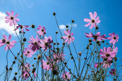 Pink flowers on a background of blue sky. Royalty Free Stock Image