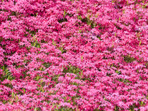 Pink flowers background Royalty Free Stock Photography