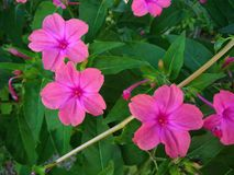 Pink flowers and green leaves Royalty Free Stock Photos