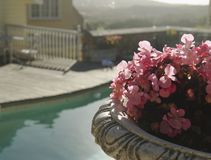Pink flowers on the background of the pool and houses, South Africa, selective focus Stock Photos