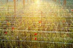 Plantation carnations at sunset time. Horizontal Royalty Free Stock Image