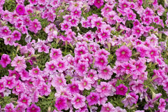 Pink flowers background Royalty Free Stock Photo
