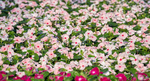 Pink flowers for background Royalty Free Stock Image