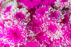 Pink flowers for backgrounds. Beautiful pink flower for backgrounds royalty free stock photos