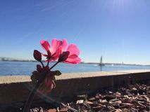 Pink flowers at the bay with a sailboat. In the foreground there are two pink flowers, next to a wall with a the san diego bay and a sailboat in the background Royalty Free Stock Image
