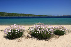 Pink flowers on the beach. Mediterranean vegetation flowering in spring on the beach Stock Image