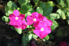 Pink flowers. Are so beautiful Royalty Free Stock Photo