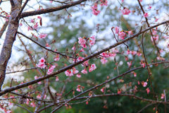Pink flowers. beautiful cherry blossom Royalty Free Stock Photos