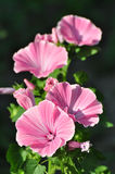 Pink flowers. Beautiful pink flowers are in a garden Stock Images