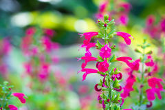Pink flowers. Beautiful pink flowers in garden Royalty Free Stock Photo