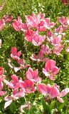 Pink flowers. Beautiful pink flowers in the garden Royalty Free Stock Photo