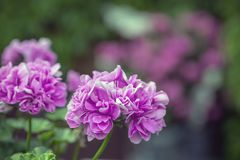 Pink flowers of a beautiful geranium on a blurred pink-green background in the garden.  stock image