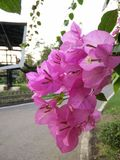 Pink flowers. Beautiful pink flowers in public garden Stock Photography