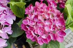 Pink flowers. Beautiful  pink flowers in summer time Stock Photography