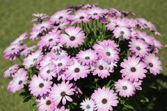 Pink Flowers. Beautiful pink and violet flowers Royalty Free Stock Image