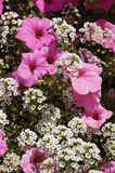 Pink flowers. A beautiful pink and white flower glows on a hot summer day Royalty Free Stock Photos