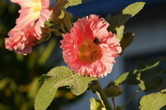Pink flowers. A beautiful pink and yellow flower with a busy bumblebee Royalty Free Stock Images