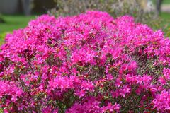 Pink flowers on bed in garden Stock Photography