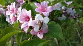 Pink flowers and a bee. Delicate pink flowers Weigela and bee collects nectar, summertime Stock Image