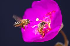 Pink flowers with bees, long stigma and anthers. Close up of pink flowers with a bee, stigma and anthers Royalty Free Stock Photos