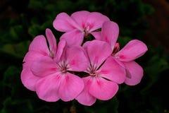 Pink flowers begonia geranium. Close-up of pink flowers begonia geranium in macro stock image