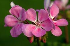 Pink flowers begonia geranium. Close-up of pink flowers begonia geranium in macro stock photo