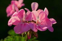 Pink flowers begonia geranium. Close-up of pink flowers begonia geranium in macro royalty free stock photos