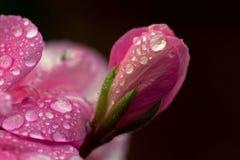 Pink flowers begonia geranium. Close-up of pink flowers begonia geranium in macro, with raindrops stock image