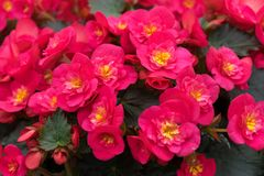 Pink flowers of Begonia grandis, lovesickness, bitter love. stock photos