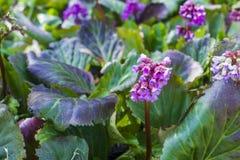 Pink flowers of Bergenia cordifolia Stock Photography