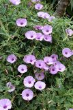 Pink flowers of bindweed Royalty Free Stock Photography