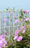 Pink flowers of bindweed Stock Images