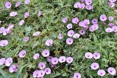 Pink flowers of bindweed Royalty Free Stock Photo