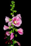 Pink flowers with black. Stock Photo