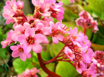 Pink flowers in bloom Royalty Free Stock Photography