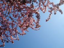 Pink flowers in bloom. Branches of a tree in bloom against the blue sky as the background. The tree has pink flowers Stock Image