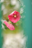 Pink flowers in bloom at late autumn Stock Photo