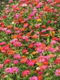 Pink flowers in bloom. Scenic view of a a field or meadow of pink flowers in bloom Royalty Free Stock Images