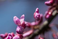 Pink flowers on the almost bloomed branches stock photo