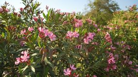 Pink flowers bloomed on a Bush and swaying in the wind. Pink flowers bloomed on a Bush and swaying in the wind stock video footage
