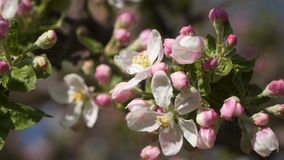 Pink flowers blooming apple trees.  stock footage