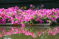 Pink flowers blooming in bamboo raft on water background royalty free stock photography