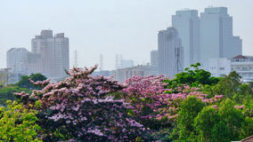 Pink flowers blooming in Bangkok Royalty Free Stock Photography
